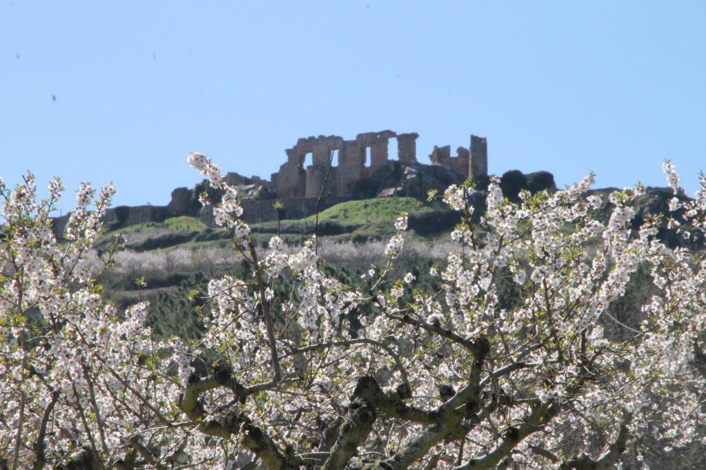 Amendoeiras em Flor1